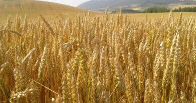 ATI und Weizen